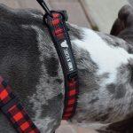 plaid_collar_pitbull